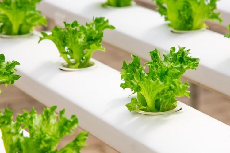 beneficios de las auxinas en los vegetales