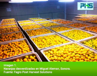 Naranjas desverdizadas en Miguel Aleman, Sonora. Fuente: Fagro Post Harvest Solutions