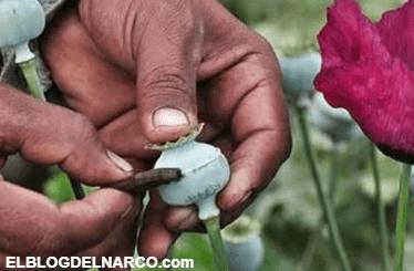 Aprueban en Guerrero despenalizar el cultivo de amapola