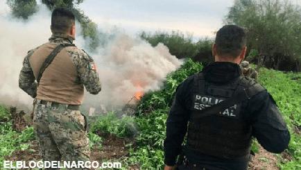 Ejército destruye casi 100 toneladas de mariguana en Mazatlán