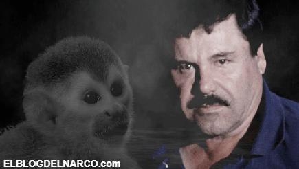 La historia de Botas, el mono de lasgemelas que delató al Chapo Guzmán y cómo terminó