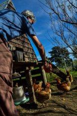feeding chikens