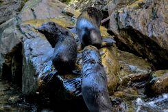 Baby seals, la 2
