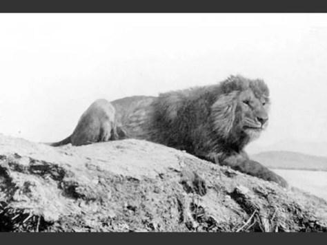 las-fotos-de-10-animales-que-ya-se-han-extinguido-león-de-berberia