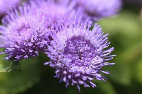 cuales-son-las-flores-del-verano-damasquino