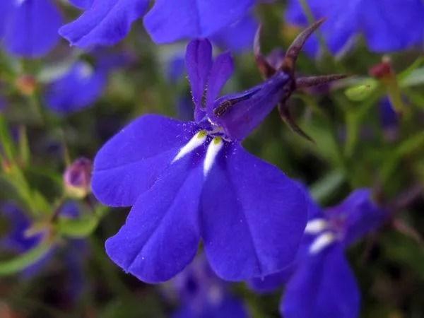 cuales-son-las-flores-del-verano-lobelia