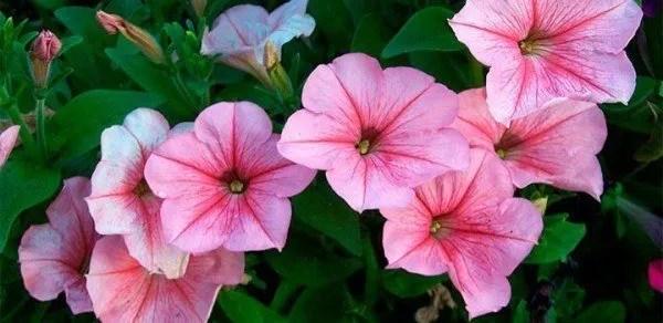 cuales-son-las-flores-del-verano-petunias