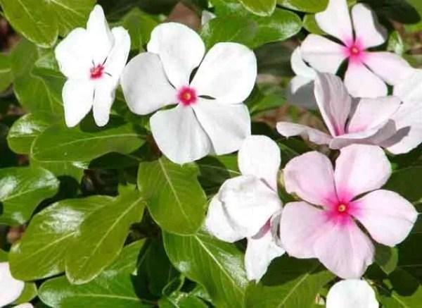 cuales-son-las-flores-del-verano-vinca-rosea
