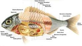 Anatomía pez