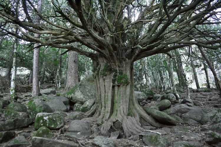 Tejo, el árbol singular del abedular de Canencia