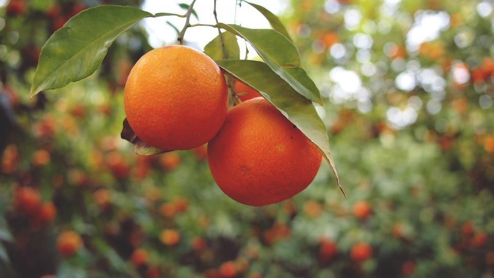 Manda naranjas…