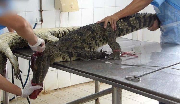 crueldad-cocodrilos-bolsos-lujo-2