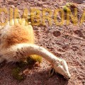 portada vicuñas