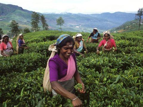 Mujeres recogiendo las hojas de té de Ceilán