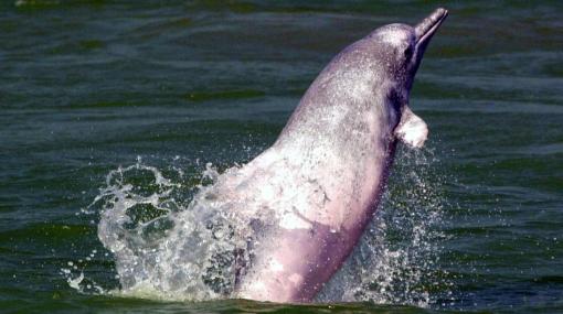 Especies en peligro de extinción, Delfines, Animales, Fauna marina