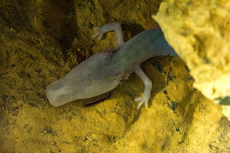 Un Proteus anguinus, especie de salamandra