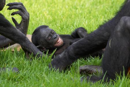 bonobo_tickle