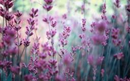 6915465-flowers-lavender-purple-field