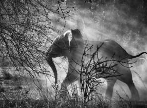 dado-que-en-zambia-hay-cazadores-furtivos-de-elefantes-loxodonta-africana-estos-animales-tienen-miedo-de-las-personas-y-de