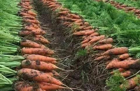 Los lotes de maíz, zanahoria y brócoli procedentes de Europa, (Bélgica y Hungría) y fabricados desde el 13/08/2016 hasta el 20/06/2018 se encuentran contaminados con la bacteria Listeria monocytogenes.