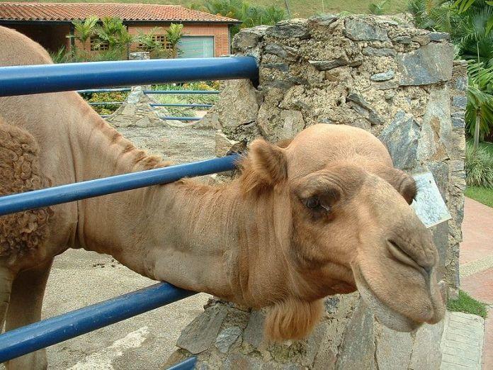 Camello en Expanzoo