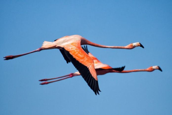 Flamencos, aves en Unare