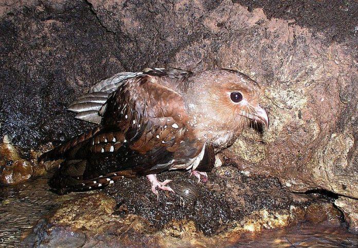 Guácharo (Steatornis caripensis)
