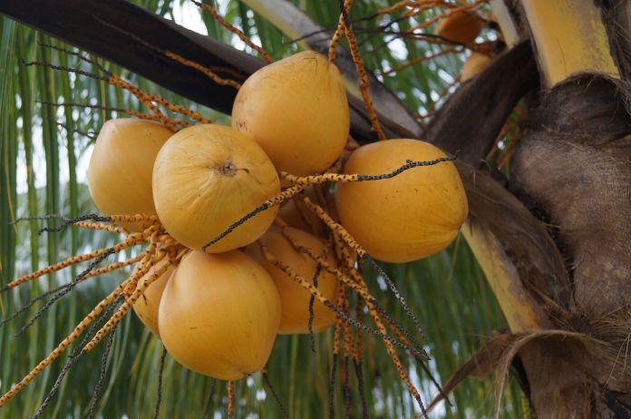 Cocotero en Machurucuto