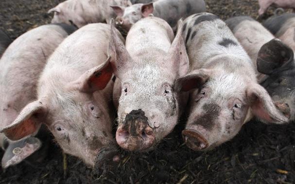 Sociedad de cerdos