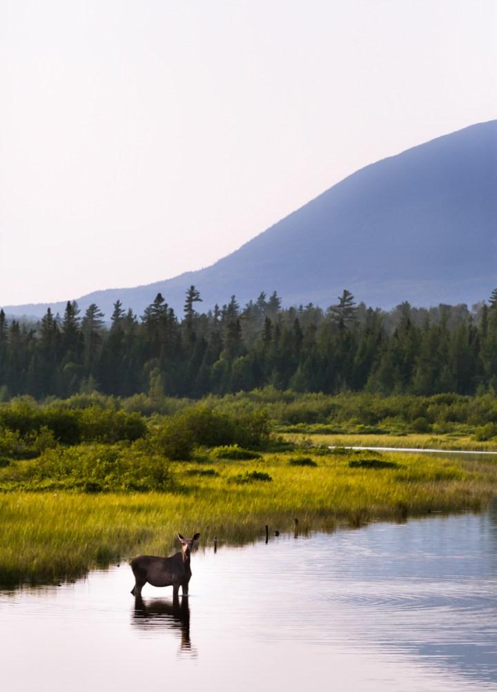 Portrait Of A Moose, Moose, River, Maine