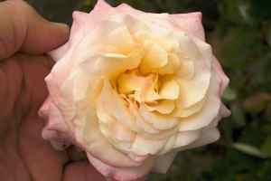 couleur de roses