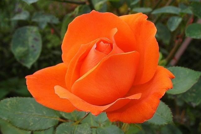 couleur des roses