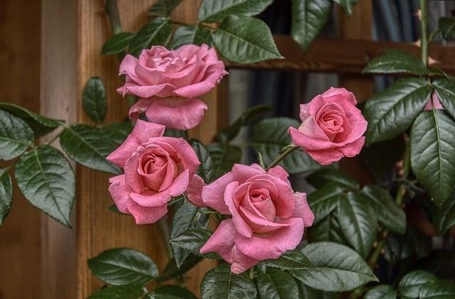 entretien des roses