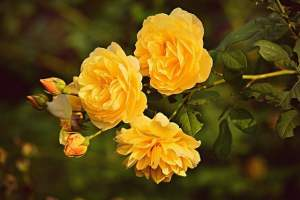 signification rose jaune