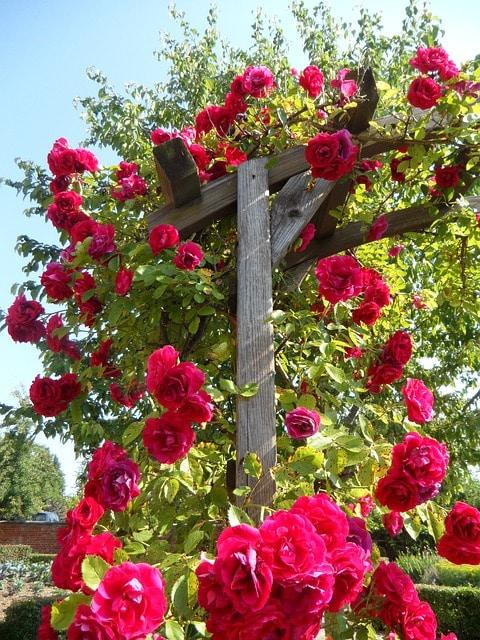 rosier gimpant pergola