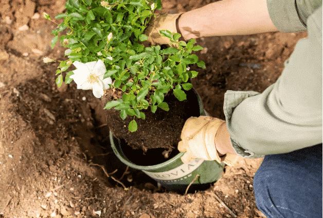 Où Planter Votre Rosier