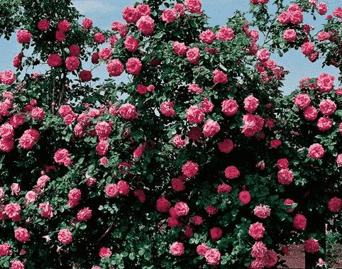 Quelles Meilleures Rosiers à Grandes Fleurs