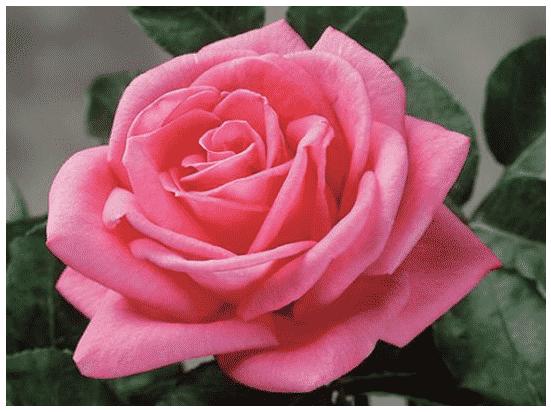 Top 20 Variétés de Roses Pour Plein Soleil ?