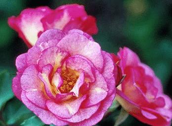 rosier facile