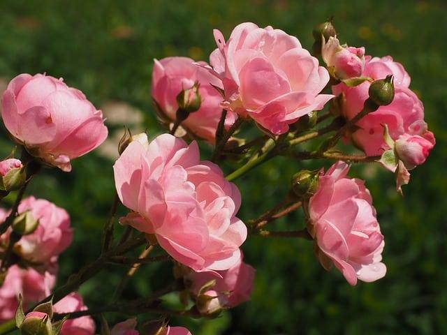 Quel Sol Pour De Belles Roses sur vos Rosiers ?
