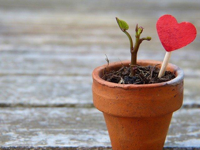Rose de Noël, Hellébore noir : Plantation et Entretien