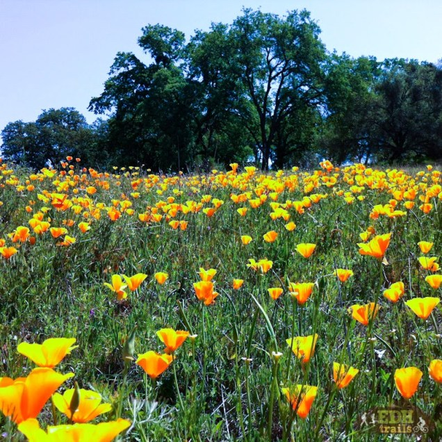 California poppy along the trail