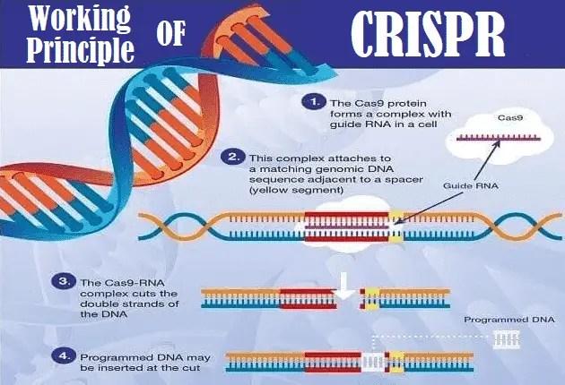 CRISPR Gene Editing Technology - How it Works, Uses & Limitations