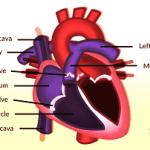 Heart Eorking