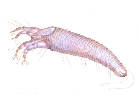 Смородиновый почечный клещ - переносчик вируса махровости черной смородины.