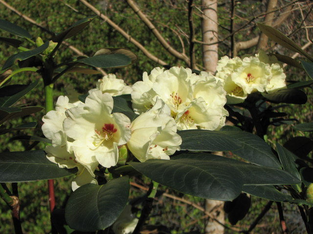 Rhododendron lacteum
