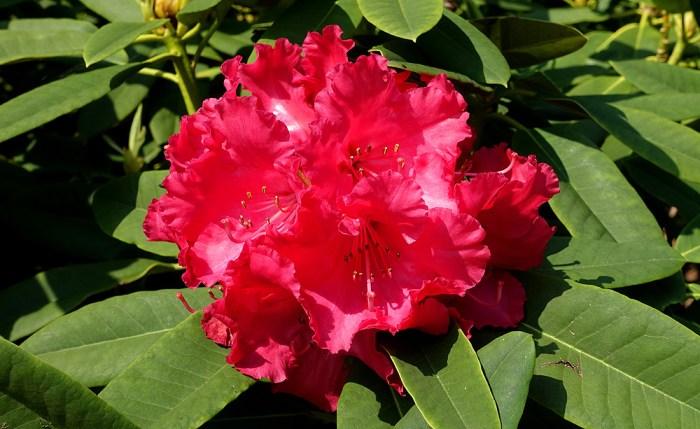Rhododendron 'Britannia'