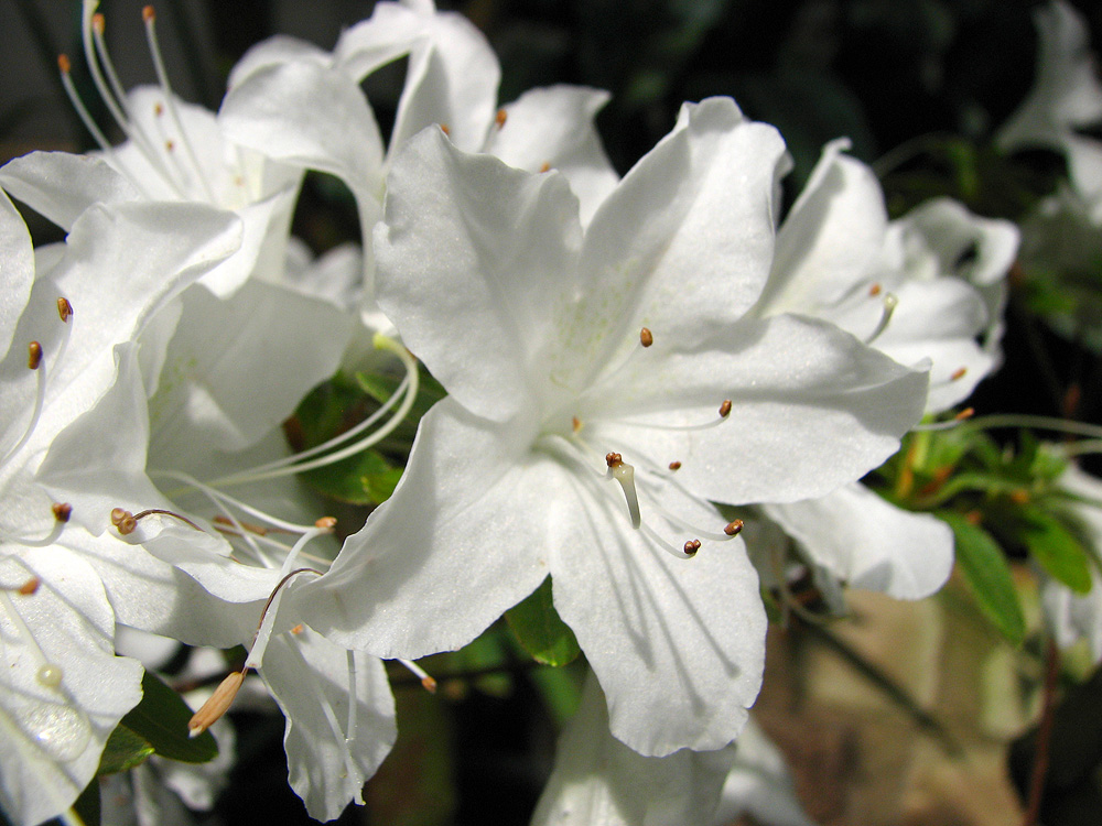 Rhododendron 'Palestrina'