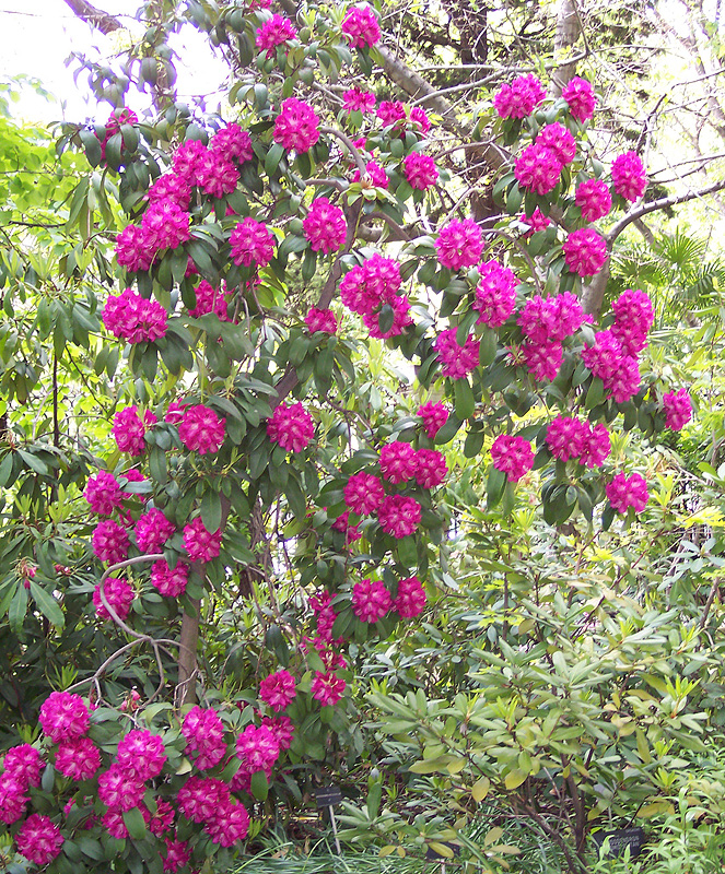 Rhododendron 'Purple Splendour'