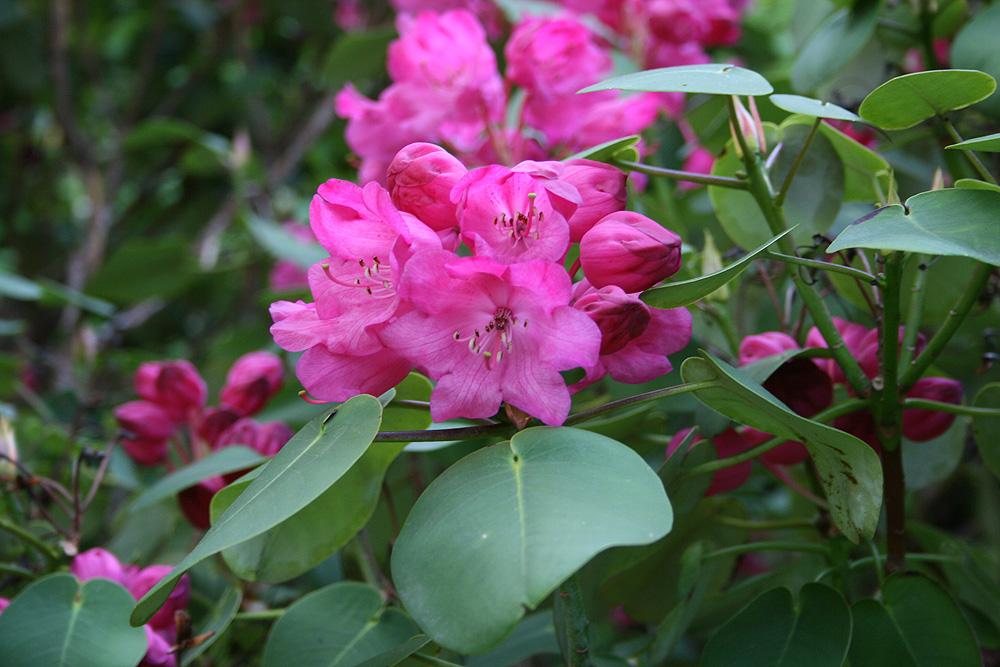 Rhododendron orbiculare - рододендрон округленный